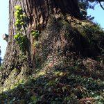 納池公園の巨木巨杉
