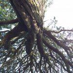 納池公園の巨木を見上げる。