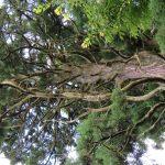 納池公園の巨木を見上げる。その2