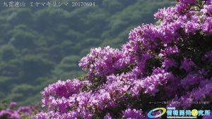 九重連山 ミヤマキリシマ 写真
