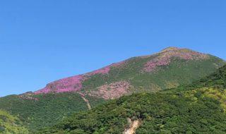 ミヤマキリシマが見頃の星生山