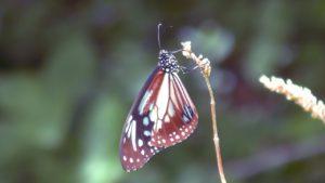 【貴重映像】滅多に見られない貴重な蝶 アサギマダラを高解像度4K撮影